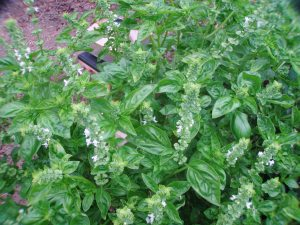 Sweet Basil Bush in Bloom