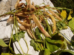 Pinto Bean pods that need to dry on the plant