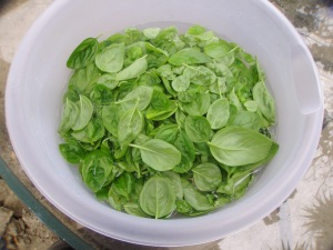 Rinsing Basil Leaves